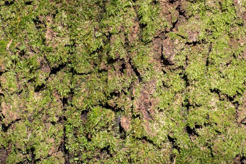 De boomstam van een oude boom die met een mos groeide stock fotografie