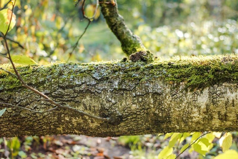 De boomstam van de gevallen berk stock afbeeldingen