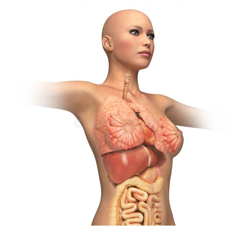 De boomstam van het vrouwenlichaam, met binnenlandse toegevoegde organen. royalty-vrije illustratie