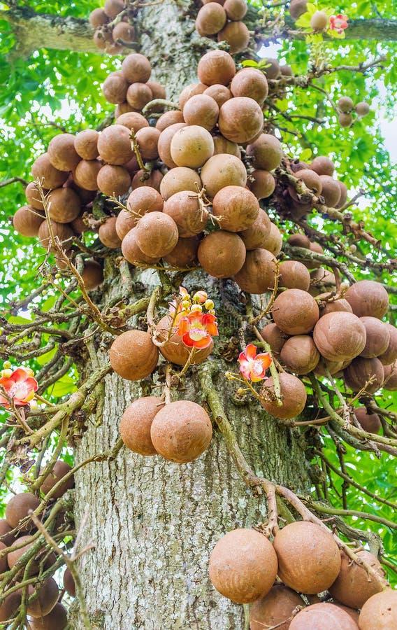 De boomstam van kanonskogelboom royalty-vrije stock foto's