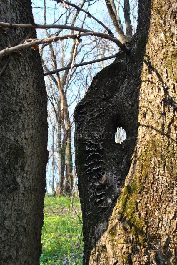 De boomstam van de oude eiken boom met hol en takken met de eerste de lentebladeren, de blauwe zonnige de lentehemel en de open p stock afbeeldingen