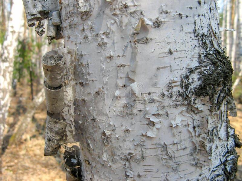 De boomstam van pijnboom in de lente Close-up van Pijnboomschors royalty-vrije stock fotografie