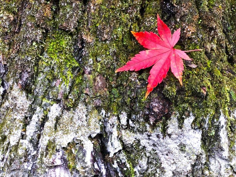 De boomstam van de schors met groene mos en lichen en rode maple, selectieve nadruk op de zachte achtergrond van het bladesdoorn stock foto's