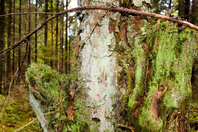 De boomstam van de sluiting met mooie groene mos op een bosachtergrond stock fotografie