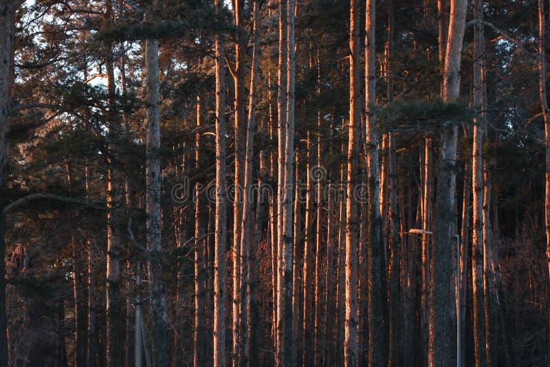 De boomstammen van de bomen bij dageraad het bos in de eerste stralen van de ochtendzon warm licht in het Park op een ijzige duid stock fotografie