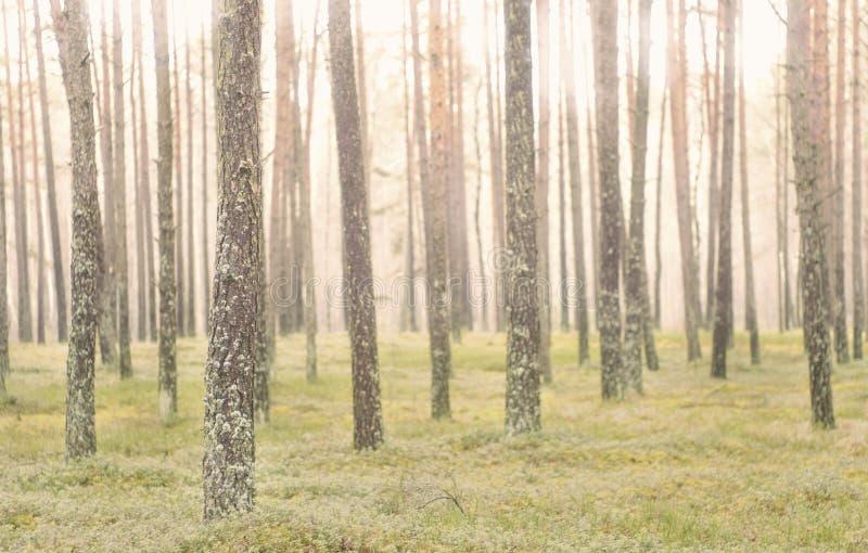 De boomstammen van de pijnboomboom in bos stock afbeeldingen