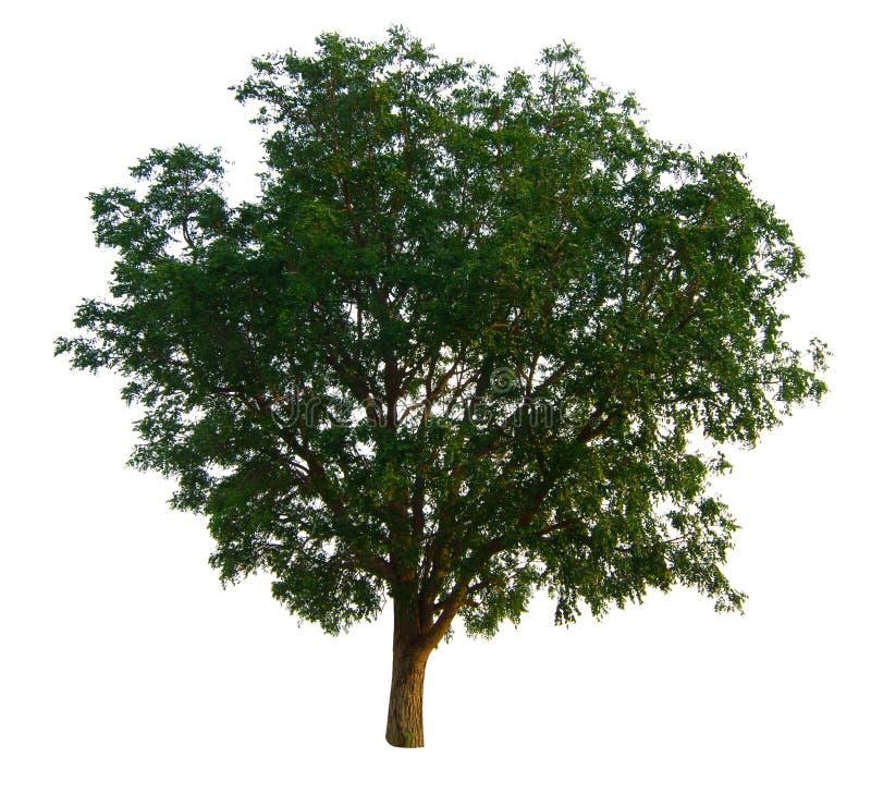 De boomtak stock afbeelding