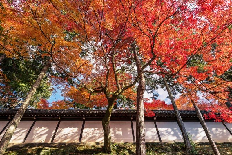 De boomtak met de herfstbladeren behandelt de Japanse tempel stock foto's