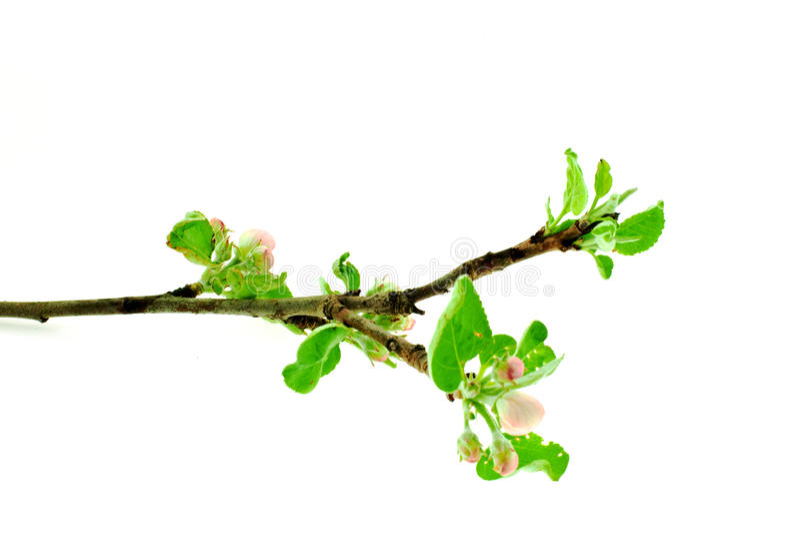 De boomtak van de appel stock foto