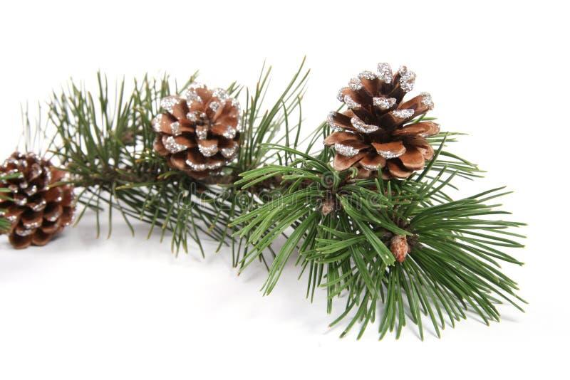 De boomtak van de pijnboom met pinecones royalty-vrije stock fotografie