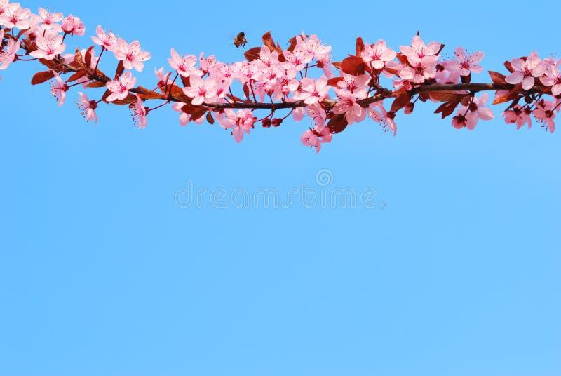 De boomtak van de Sakurakers met bloesems royalty-vrije stock fotografie