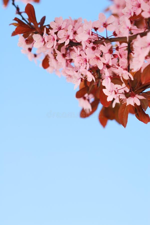De boomtak van de Sakurakers met bloesems en blauwe hemel stock fotografie