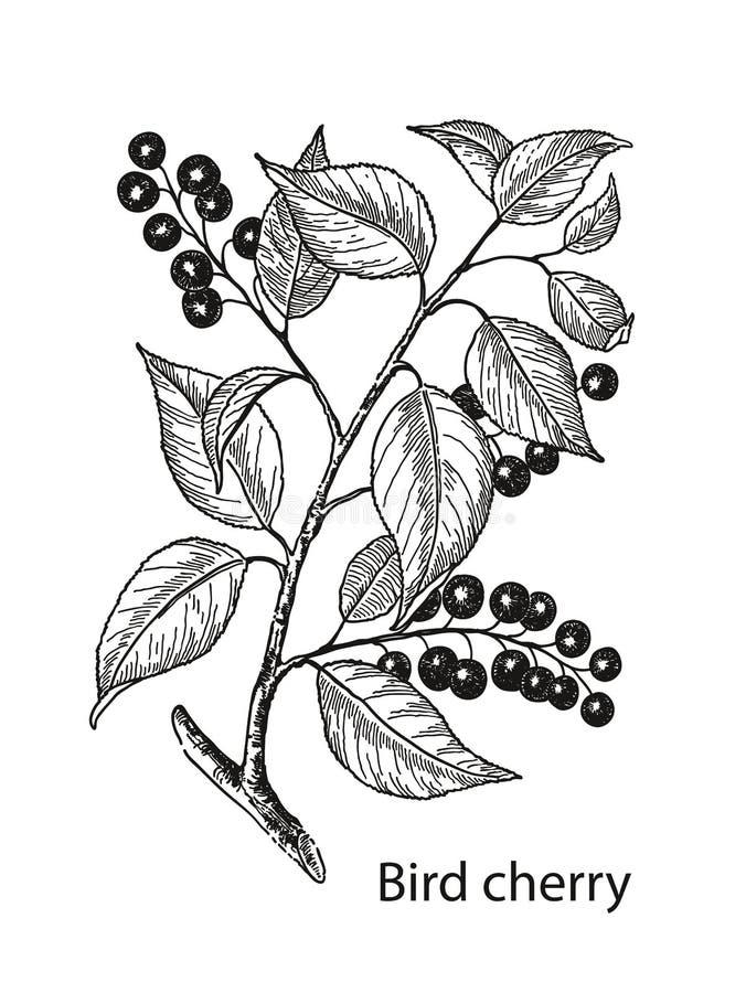 De boomtak van de vogelkers met bessen en bladeren Hand getrokken vogel-kers Vector botanische illustratie royalty-vrije stock afbeeldingen