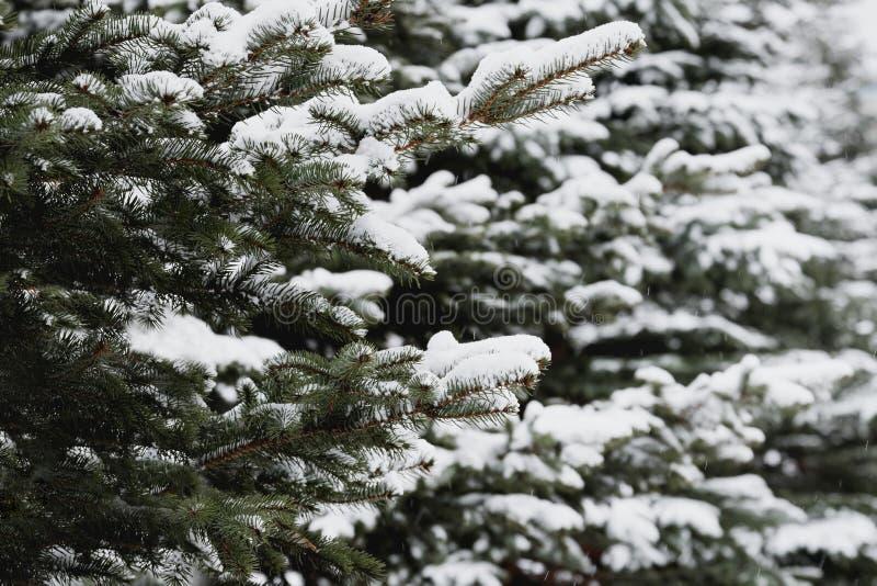 De boomtakken van de pijnboom die met sneeuw worden behandeld Bevroren boomtak op achtergrond van de de winter de bos Mooie winte royalty-vrije stock fotografie