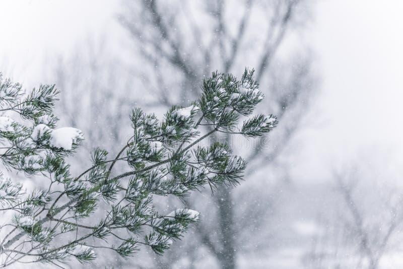 De boomtakken van de pijnboom die met sneeuw worden behandeld Bevroren boomtak op achtergrond van de de winter de bos Mooie winte royalty-vrije stock afbeelding