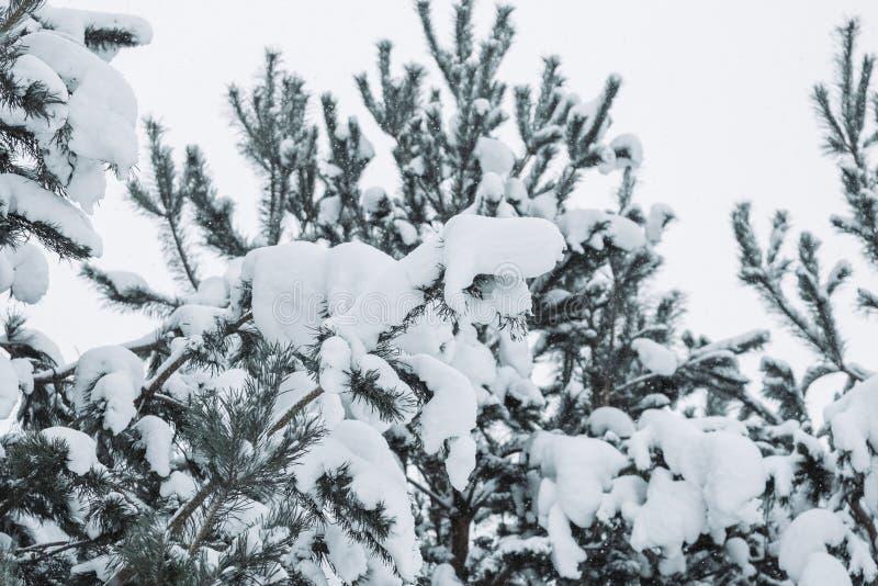De boomtakken van de pijnboom die met sneeuw worden behandeld Bevroren boomtak op achtergrond van de de winter de bos Mooie winte stock fotografie