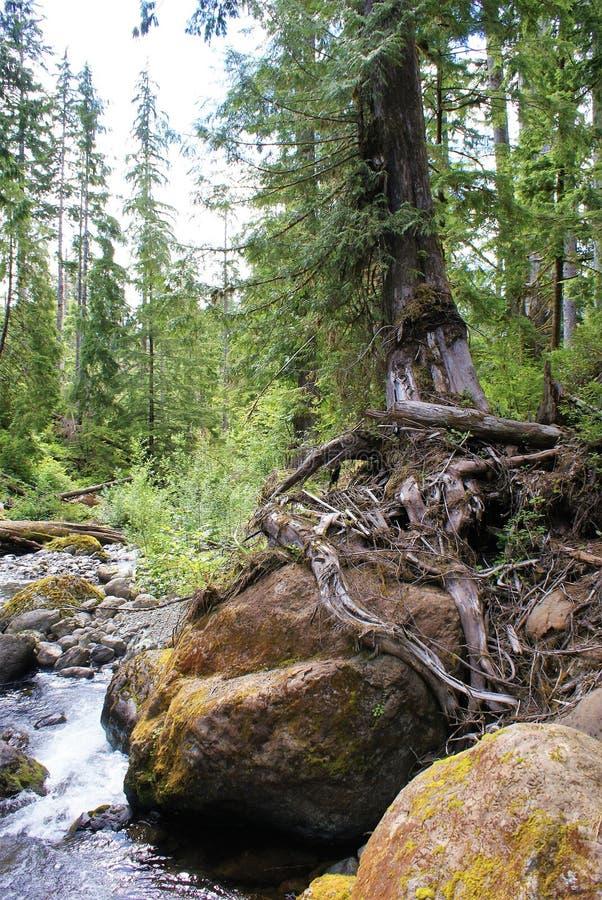 De boomtopposities van de Survivalistnaaldboom op kei in lage stroom royalty-vrije stock afbeeldingen