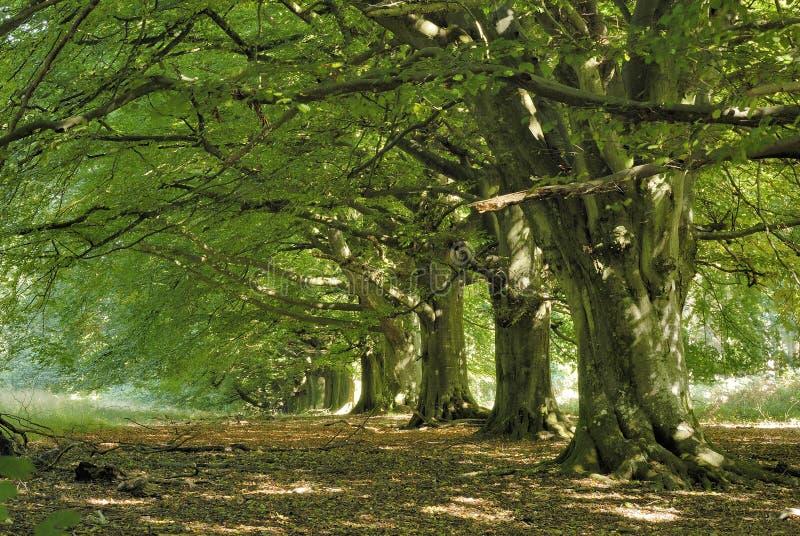 De boomweg van de beuk royalty-vrije stock afbeelding