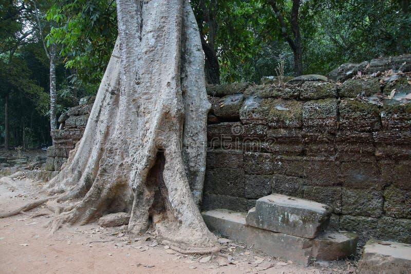 De boomwortels overweldigen oude tempelmuren royalty-vrije stock afbeelding