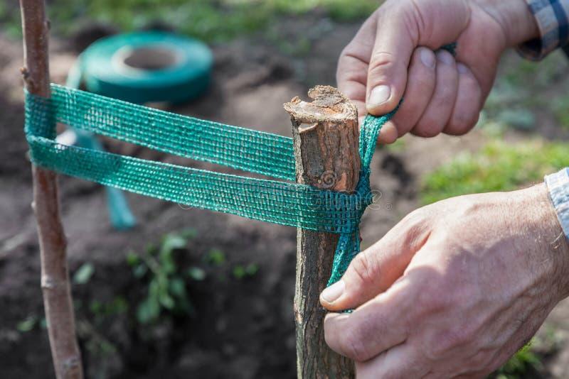 De boomzaailingen van het kousebandfruit aan steun stock foto's