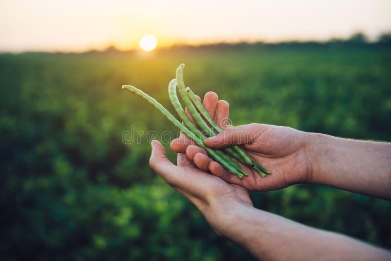De boongewas van de landbouwersholding in handen die zich op groen gebied vóór het concept van de oogst Landbouwindustrie bevinde stock afbeelding