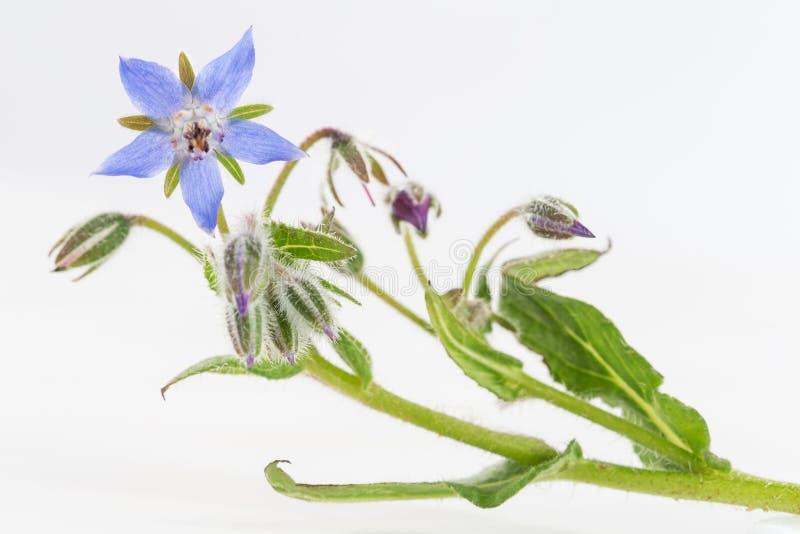 De borage bloeit dicht omhoog (Borago-officinalis royalty-vrije stock afbeeldingen