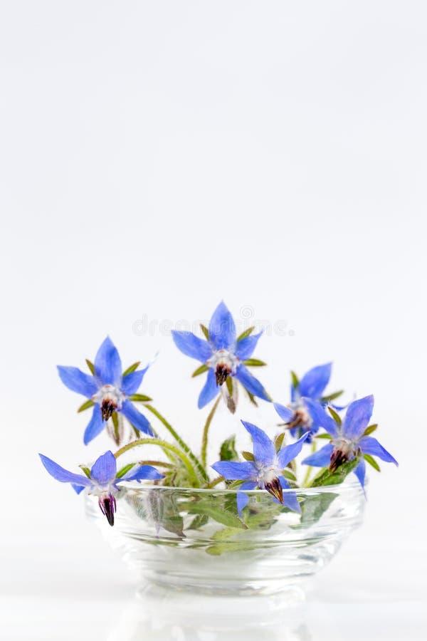 De borage bloeit dicht omhoog (Borago-officinalis stock afbeelding
