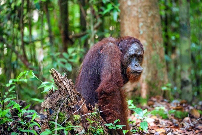 De Bornean-orangoetan Wurmbii van Pongopygmaeus - zuidwestenbevolking De orangoetans zijn uitsluitend enig stock fotografie