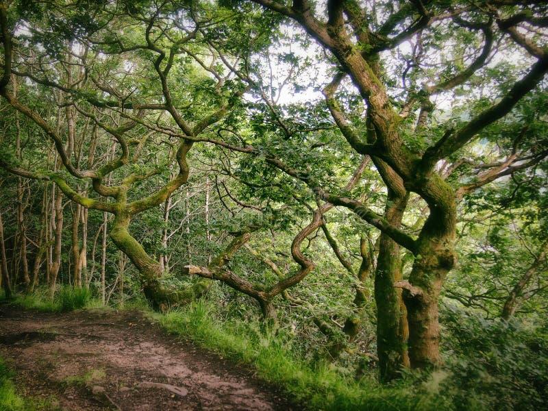 De bos bosweg die die om een hoek gaan door verdraaide groene bomen met mos wordt omringd behandelde schors en heldere de zomerhe stock fotografie