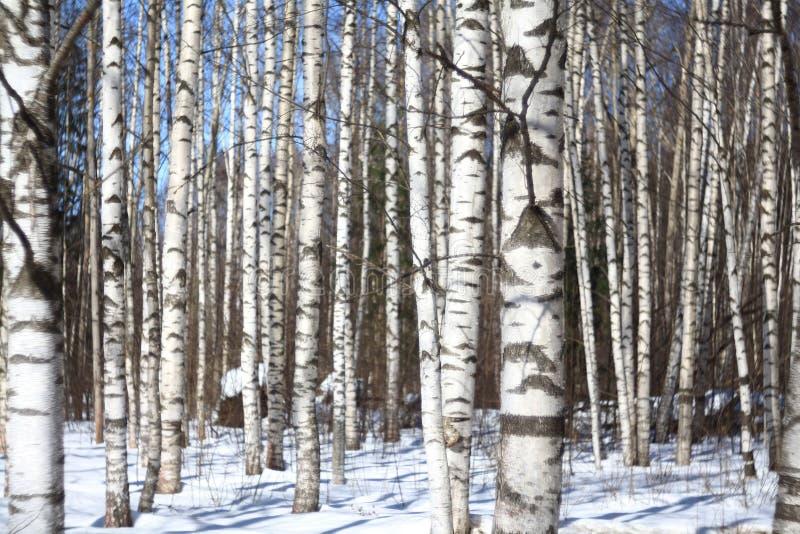 De bos en blauwe hemel van de achtergrond de lenteberk stock foto