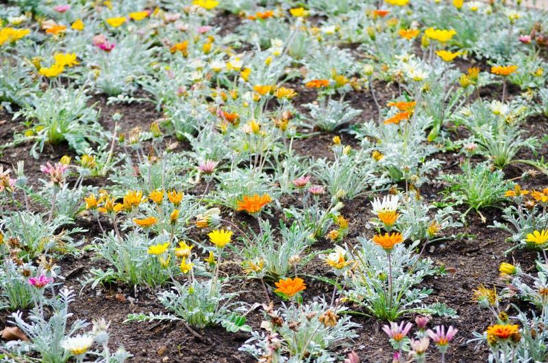 De bos van Mooie Gele en oranje madeliefjeinstallatie groeit op een bloembed in een lentetijd bij een botanische tuin stock afbeeldingen