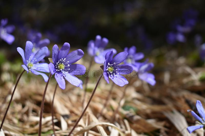 De bos van de mooie violette kleurenlente bloeit stock afbeeldingen