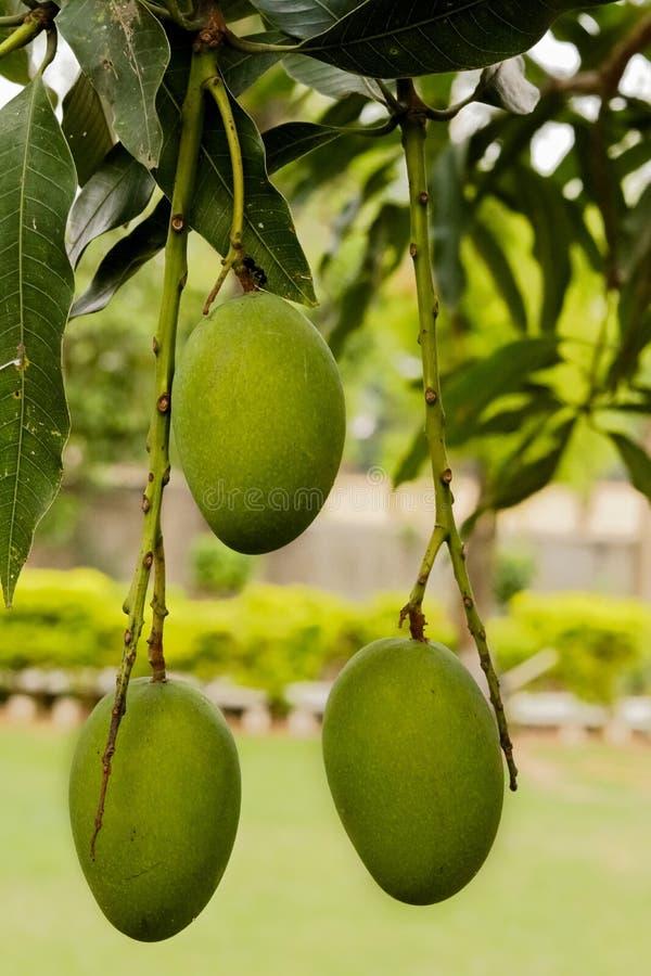 De bos van verse rij groene mango's met doorbladert het hangen op boom stock afbeeldingen