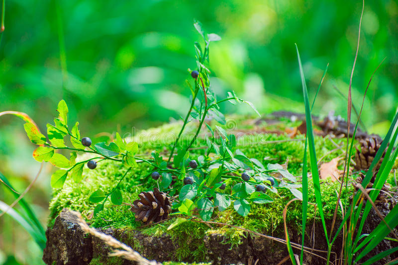 De bosbessenstruik groeit op een stomp royalty-vrije stock foto's
