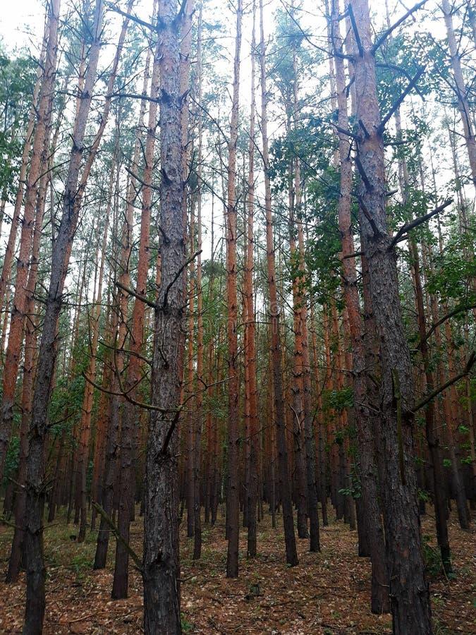 De bosbomen van de herfst achtergronden van het aard de groene houten zonlicht stock foto