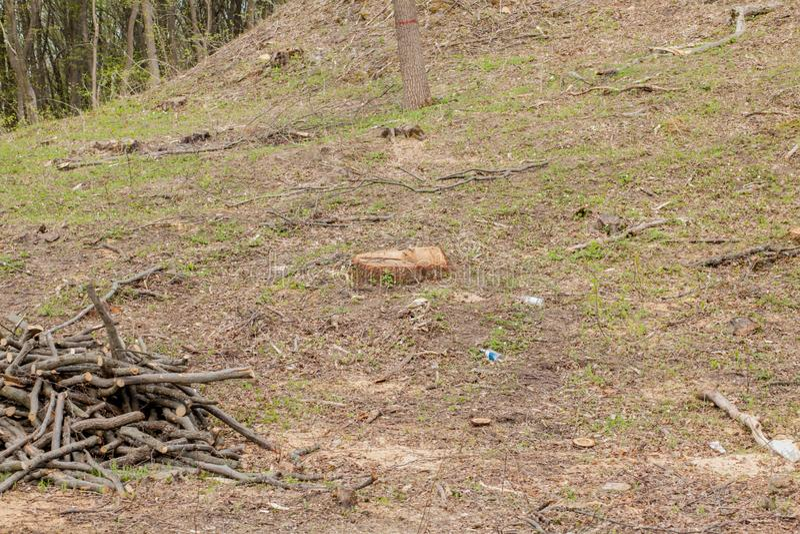 De bosbouwbenutting van de pijnboomboom in een zonnige dag De stompen en de logboeken tonen aan dat overexploitation tot ontbossi stock fotografie