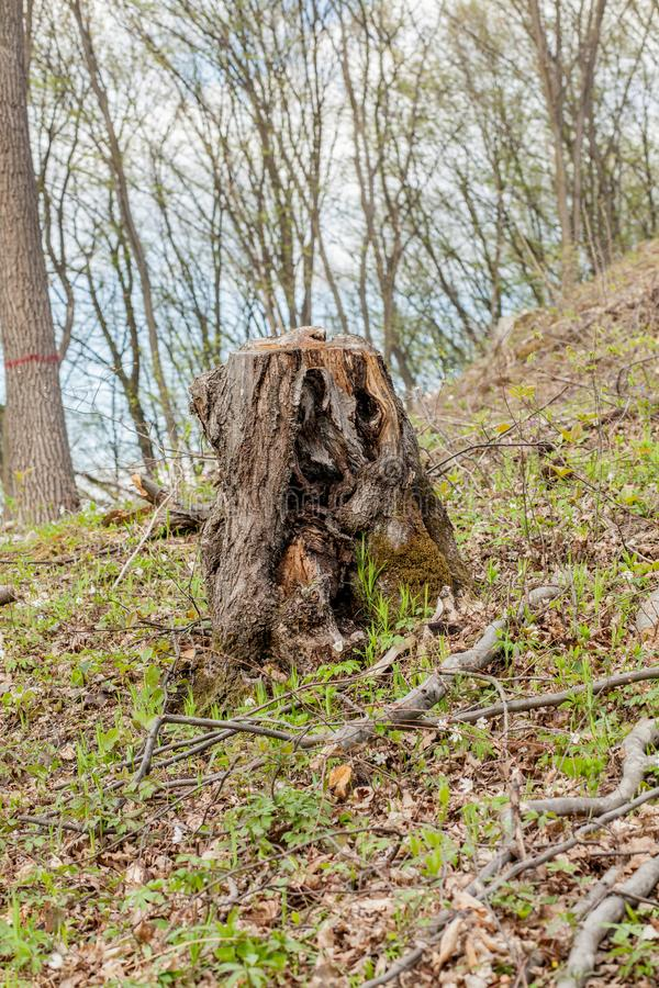 De bosbouwbenutting van de pijnboomboom in een zonnige dag De stompen en de logboeken tonen aan dat overexploitation tot ontbossi stock foto's