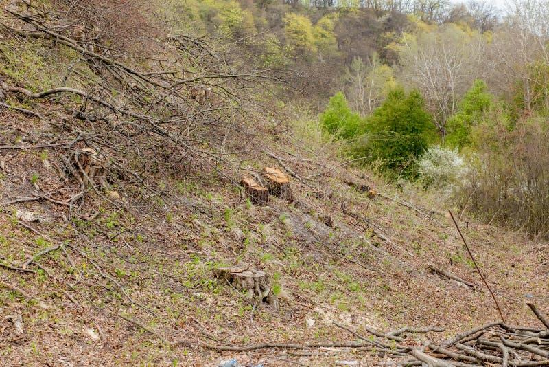 De bosbouwbenutting van de pijnboomboom in een zonnige dag De stompen en de logboeken tonen aan dat overexploitation tot ontbossi stock foto