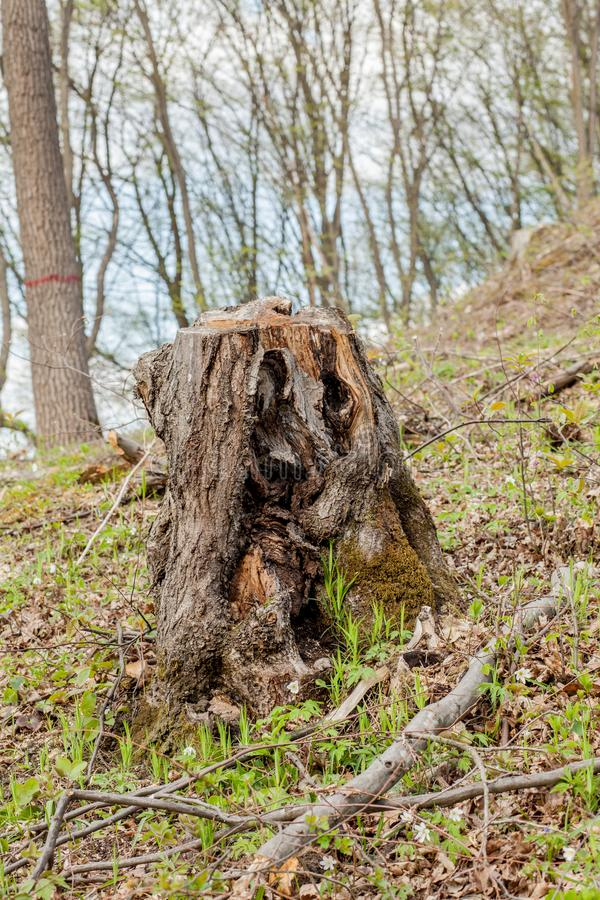 De bosbouwbenutting van de pijnboomboom in een zonnige dag De stompen en de logboeken tonen aan dat overexploitation tot ontbossi royalty-vrije stock fotografie
