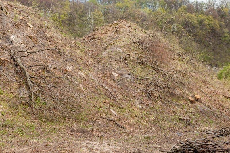 De bosbouwbenutting van de pijnboomboom in een zonnige dag De stompen en de logboeken tonen aan dat overexploitation tot ontbossi royalty-vrije stock afbeeldingen
