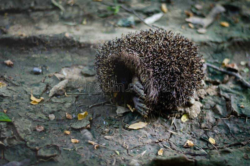 De bosegel krulde en plakte omhoog uit zijn poten De egel van de aarbal op een droge bosweg na een regen Close-up Het ontspruiten stock fotografie