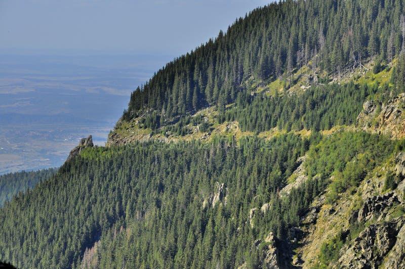 De bosmening van hooglandspelden vanaf bovenkant stock foto
