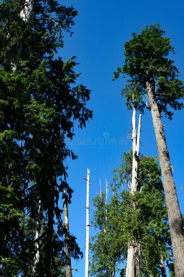 De bospijnbomen stijgen in blauwe hemel stock afbeeldingen