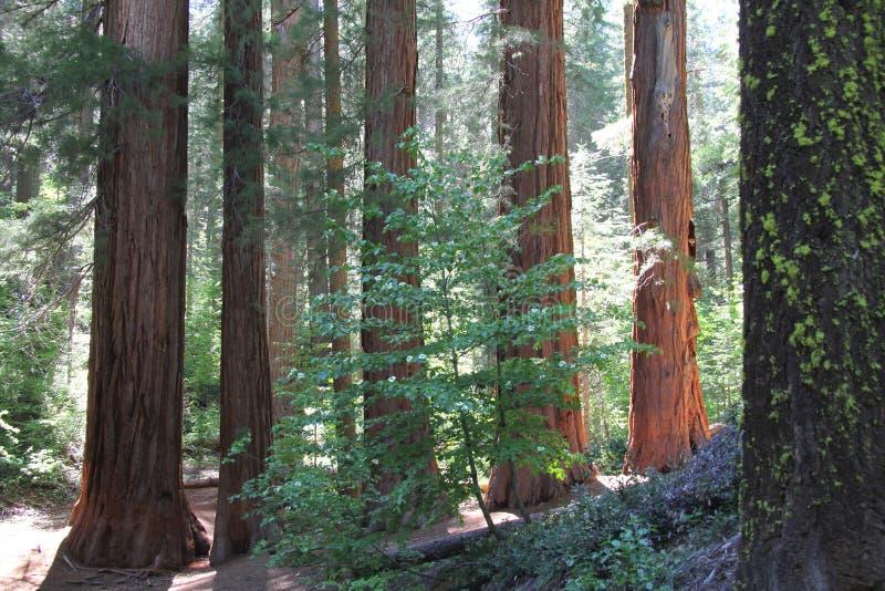 De BosReuzen van de Californische sequoia royalty-vrije stock fotografie