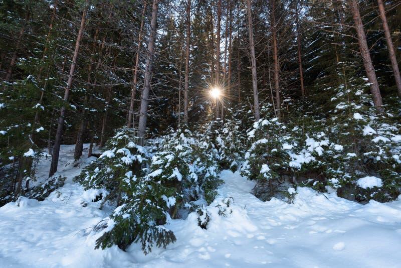 De bosscène van de winter Zonnestralen in het bos in een zonnige de winterdag Sneeuwfairytale in Bulgarije stock afbeelding