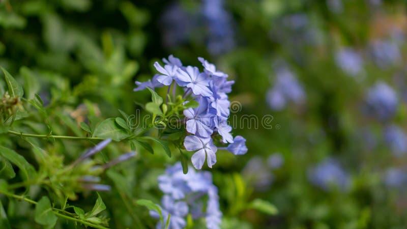 De bossen van blauwe uiterst kleine bloemblaadjes van Kaap die leadwort op groenbladeren en onscherpe achtergrond bloeien, kennen stock foto