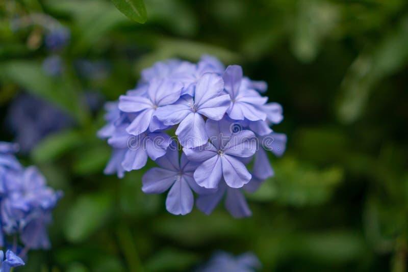 De bossen van blauwe uiterst kleine bloemblaadjes van Kaap die leadwort op groenbladeren en onscherpe achtergrond bloeit, kennen  stock fotografie