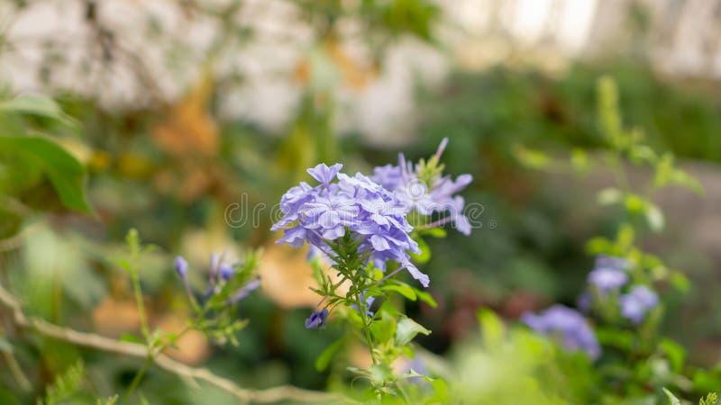 De bossen van blauwe uiterst kleine bloemblaadjes van Kaap die leadwort op groenbladeren en onscherpe achtergrond bloeit, kennen  stock foto's