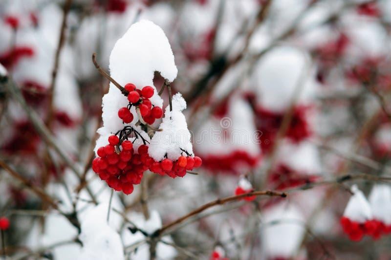 De bossen van rode viburnumbessen in wintergarden royalty-vrije stock afbeelding