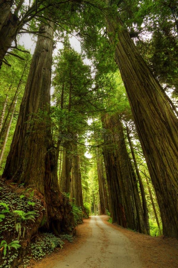 De BosWeg van de Californische sequoia stock afbeeldingen